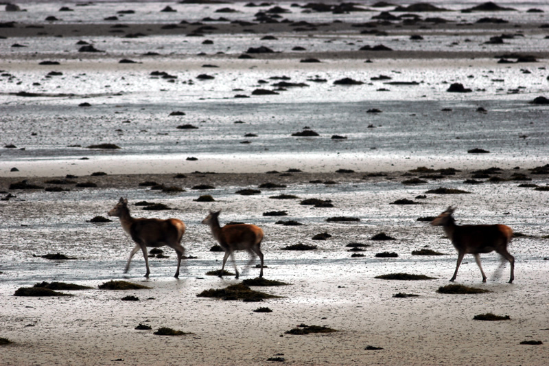 Deer on beach near Macneils Croft Self catering house on shore of Arivegaig Bay, Ardnamurchan Scotland